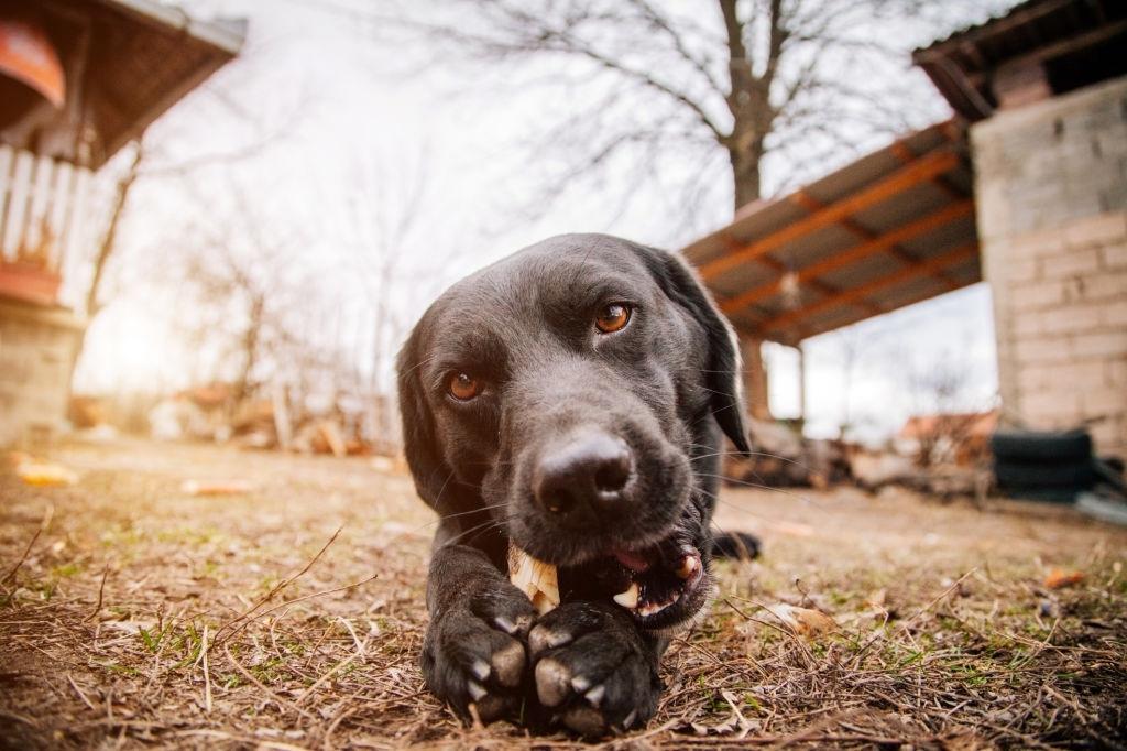 fortalecer mandíbula perros